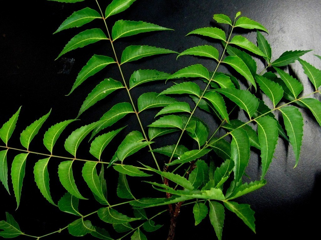 neem plant beneficial for teeth