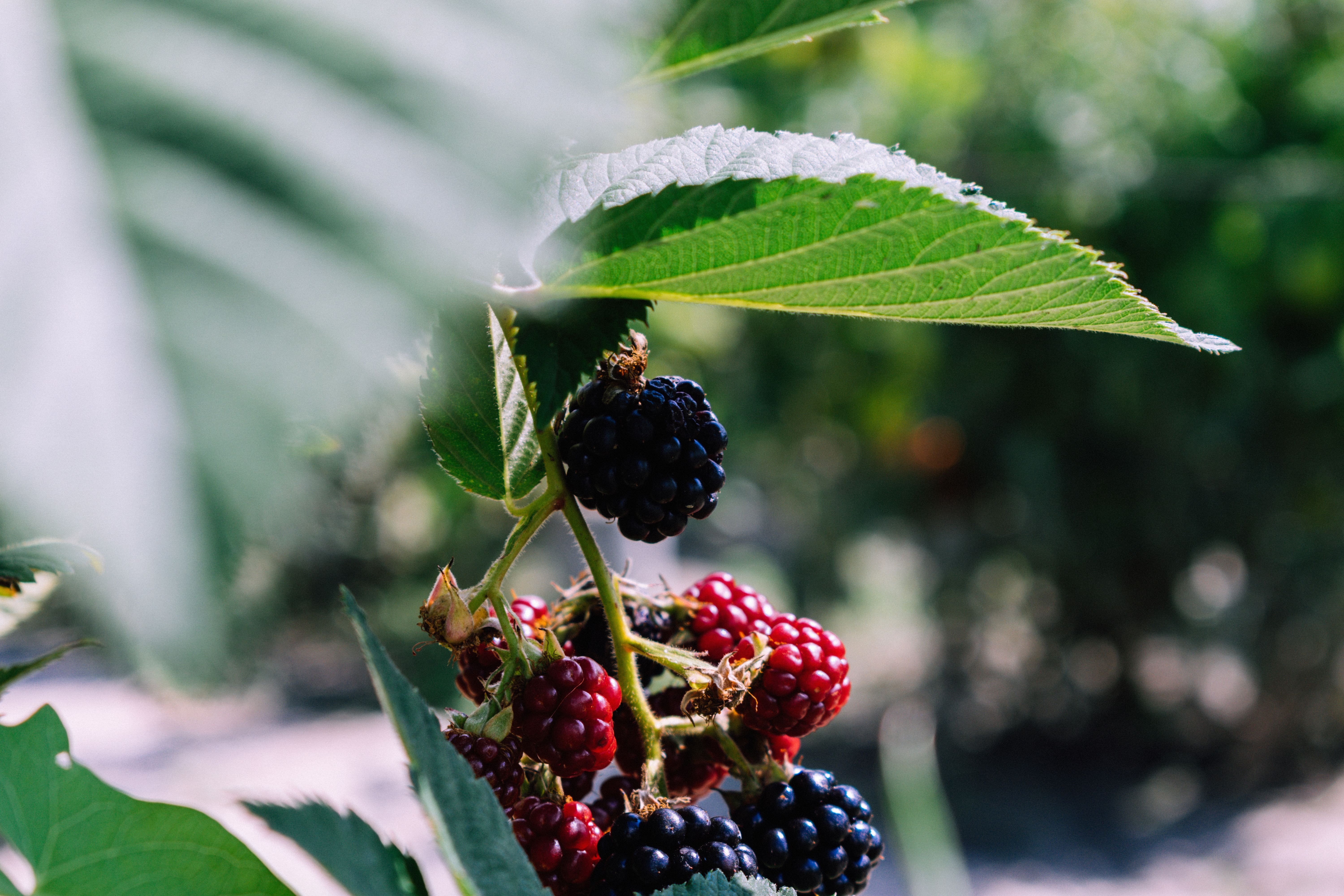 Weight Loss And The Hype About The Acai Berry